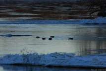 Ducks in the cold water